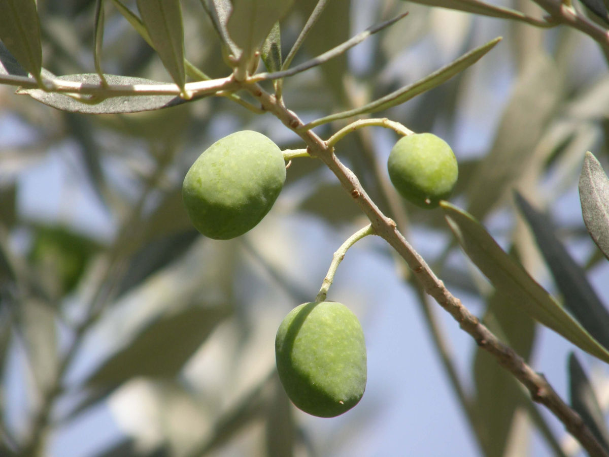 olives camping les cerisiers